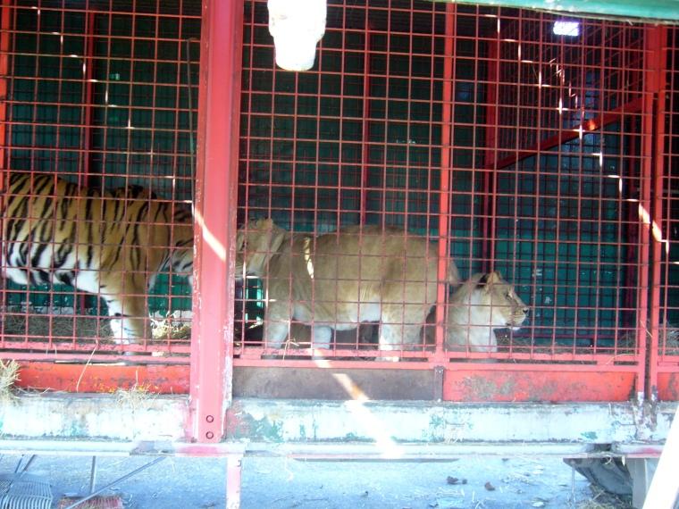 lionandtiger